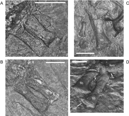 Ontogenetic changes in the tibia of M. pelikani.A. Stage 1, NHMW1898-2400; proximal toward upper left. B. Stage 2, NHMW1898_X_33; proximal toward upper left. C. Stage 3, St.193, proximal toward top. D. Stage 4, MB.Am.840; proximal toward top right. Proximal end of tibia partially crushed under femur; arrows denote base of proximal end. Intf, intermedial facet; Fem, femur; Fib, fibula; Tib, tibia. Scale bars = 1mm.