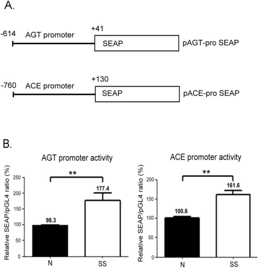 Promoter activity assay of human AGT and ACE genes in VSMCs.(A) Schematic diagrams of the reporter gene constructs. The AGT promoter (-614 to +41) and ACE promoter region (-760 to +130) were cloned into the upstream of the SEAP gene to generate the pAGT-proSEAP and pACE-proSEAP constructs, respectively. (B) SS treatment regulates the transcriptional activity of AGT and ACE promoters in VSMCs. pGL-4 was used as an internal control and contransfected with pAGT-proSEAP or pACE-proSEAP constructs in VSMCs. The relative SEAP/pGL-4 ratios represent SEAP activity normalised according to the firefly luciferase activity. The ratio in the normal medium was designated as 100%, and the values are expressed as the mean ± SE from at least 3 independent experiments. **P < 0.01 in comparison to cells cultured in a normal medium.