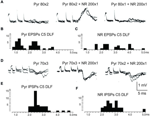 Convergence of pyramidal and rubral effects after C5 DLF transection. (A), intracellular recordings from a LRN neuron showing spatial facilitation disynaptic EPSPs when applying a train of two stimuli to the contralateral pyramid alone (left panel), combined with conditioning single stimulus to the contralateral NR (middle panel) and when the second pyramidal stimulus was removed but the conditioning rubral stimulation remained (right panel). Note that the rubral conditioning stimulation was given synchronously with the second pyramidal stimulation. (B,C), distribution of EPSP latencies measured from the incoming volley evoked by stimulation in the contralateral pyramid and NR, respectively. Measurements were made from the last effective volley of the train in this and the following latency histograms. (D), intracellular recording from another LRN neuron showing spatial facilitation of IPSPs when applying a train of three stimuli to the contralateral pyramid alone (left panel), combined with conditioning single stimulus to the contralateral NR (middle panel) and when the third pyramidal stimulus was removed but the conditioning rubral stimulation remained (right panel). (E,F), distribution of IPSP latencies measured from the incoming volley evoked by stimulation in the contralateral pyramid and NR, respectively.