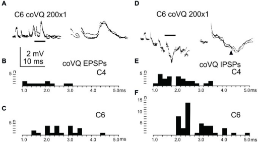 Effects evoked via the cervical bVFRT. (A), intracellular recordings from a LRN neuron showing disynaptic EPSPs when stimulating the LVST with a train of three stimuli in the (coVQ) in the C6 segment. The right panel was taken at a higher sweep speed and is expanded from the section indicated by the horizontal line in the left panel. (B,C), distribution of EPSP latencies by electrical stimulation of the LVST in the coVQ in C4 respectively C6. (D), intracellular recordings from a LRN neuron showing disynaptic IPSPs when stimulating the LVST with a train of three stimuli in the (coVQ) in the C6 segment. The right panel was taken at a higher sweep speed and is expanded from the section indicated by the horizontal line in the left panel. (E,F), distribution of IPSP latencies by electrical stimulation of the coVQ in the C4 and C6 segments, respectively.