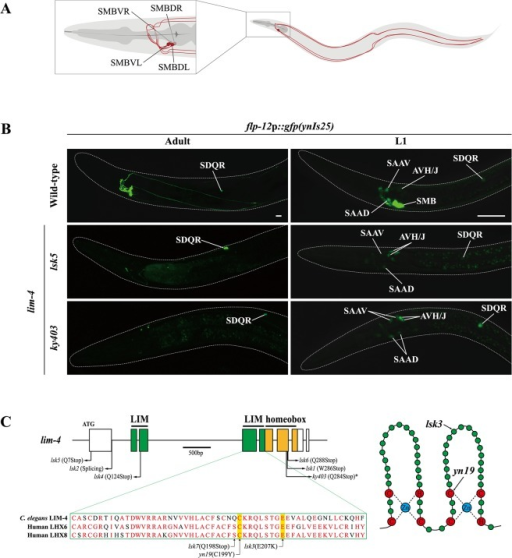 Expression of a flp-12 neuropeptide reporter is abolished in the SMB neurons of lim-4 mutants.(A) Schematic drawing of the SMB neurons in C. elegans. Four cell bodies are located in the head (DL: dorsal left, DR: dorsal right, VL: ventral left, VR: ventral right) and their processes run in sublateral cords to the tail. (B) Expression of the flp-12 neuropeptide reporter is abolished specifically in the SMB neurons of lim-4 mutants. GFP expression in ynIs25 integrated strains is observed in the SMB and SDQ(L/R) neurons of wild-type adult (left column) or L1 larval (right column) stage animals while GFP expression in the SMB neurons is not detected in lim-4  mutant alleles (lsk5, ky403). Faint expression of the flp-12p::gfp reporter in the SAA and AVH/J neurons of L1 larvae is not altered in lim-4 mutants. Anterior is at left in all images. Scale bars: 20 μm. (C) Genomic structure of lim-4 (left) and schematic structure of the LIM domain of LIM-4 (right). The sequence alignment of part of the LIM domain of C. elegans LIM-4 and human LHX6 and LHX8 is shown. Identical residues in at least two proteins are shown in red. Molecular lesions of lim-4 mutant alleles are indicated. *Mutation in ky403 was previously reported [14]. LIM domain and homeodomain are labeled in green and in yellow, respectively.