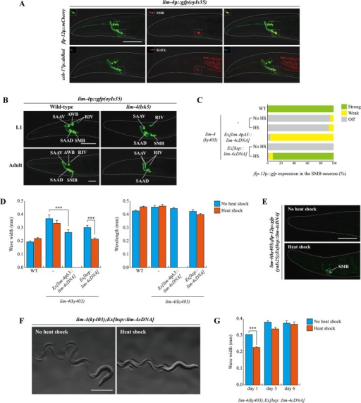 lim-4 is expressed in and acts in the SMB neurons and its expression is autoregulated.(A) GFP expression of oyIs35 animals carrying an integrated lim-4p::gfp reporter is overlapped with expression of the flp-12p::mCherry reporter (the SMB marker) but not with expression of the ceh-17p::dsRed reporter (the SIA marker). Images are derived from z-stacks of confocal microscopy images while images in the upper-left boxed regions are single focal plane confocal microscopy images. Anterior is to the left. Scale bar: 50 μm. (B) In lim-4 mutants, expression of the lim-4p::gfp reporter is abolished in the cell bodies and processes of the SMB neurons in adult but not L1 larval stage animals. GFP expression of the lim-4p::gfp reporter is shown in wild-type (left column) or lim-4(lsk5) mutant (right column) animals at L1 larval (top) or adult stage (bottom). Note that the lim-4p::gfp reporter is not expressed in the AWB neurons of lim-4 mutants [14]. Images are derived from z-stacks of confocal microscopy images. Quantitative analysis of these phenotypes is shown in Table 1. Anterior is to the left. Scale bar: 20 μm. (C) Percentage of animals of the indicated genotypes expressing stably integrated flp-12p:gfp reporter (ynIs25) is shown. Strong, weak or off expression is defined as GFP expression observed at 400x magnification in both cell bodies and processes, in only cell bodies, or not observed either in cell bodies or processes, respectively. Heat shocks were treated to L4 larval stage animals at 33°C twice for 30 minutes and after 14 hours, phenotypes were analyzed. Over two independent transgenic lines were tested. n≥50 for each. (D) The average of wave width or wavelength of the indicated genotypes. n≥30 for each. Error bars are the SEM. *** indicates significantly different between indicated animals at p<0.001 (one-way ANOVA test followed by the Tukey post-hoc test). Heat shocks were applied to L4 larval stage animals at 33°C twice for 30 minutes and phenotypes were analyzed after 14 hours. (E-F) Shown are representative pictures of lim-4 mutants containing the hsp::lim-4cDNA transgene with no heat shock or after heat shock treatment. Images are derived from z-stacks of confocal microscopy images (E: Scale bar: 50 μm) and derived from a light microscopy image (F: Scale bar: 0.5 mm). (G) lim-4 is required to maintain function of the SMB neurons. The average wave width was analyzed in lim-4(ky403);Ex[hsp::lim-4cDNA] at 1 day after, 3 day after or 6 day after heat shock treatment. n≥30 for each. Error bars are the SEM. *** Significantly different between no heat shock and heat shock treatment conditions at p<0.001(one-way ANOVA test followed by the Tukey post-hoc test).