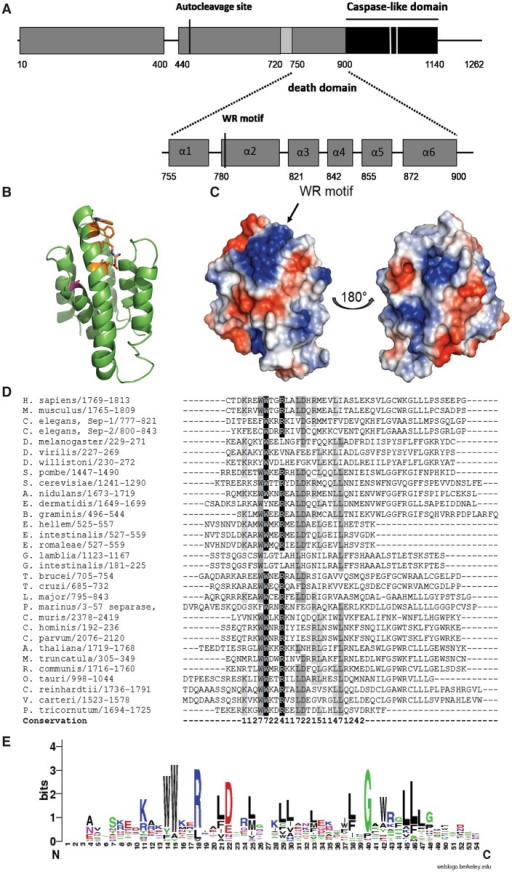 The central region of separases may be similar to death domains and harbours a conserved WWxxRxxLD motif.(A) The region N-terminal to the catalytically active caspase-like domain (black) is made up of six α-helices (grey) and may be structurally similar to death domains. A novel WWxxRxxLD-motif was found in the second helix of this domain whose function remains to be elucidated. Helices are numbered and indicated as grey bars, and their boundaries in C. elegans separase annotated. The region encompassing three β-strands is shown in light grey. Catalytic residues are marked with white bars. (B) Three-dimensional model of the proposed death domain in separase from C. elegans using the prodomain of human procaspase-9 as template. The six-helix bundle is shown in cartoon view with amino acids belonging to the proposed the WR motif shown as sticks (orange). A surface-exposed cysteine, C866 is indicated in magenta. Figure prepared with PyMol. (C) Surface representation and electrostatics of the proposed CARD domain show a large electropositive patch where the WR motif is located. Left: front view, same as view in (B), Right: view from back of molecule via vertical rotation by 180°. Figure prepared with PyMol. (D) Sequence alignment of the novel WR motif shows their high conservation within the central region of separase proteins. Sequences from mammals (Homo sapiens, Mus musculus), Caenorhabditis elegans, insects (Spodoptera frugiperda, Drosophila melanogaster, Drosophila virilis, Drosophila willistoni), fungi (Schizosaccharomyces pombe, Saccharomyces cerevisiae, Exophiala dermatitidis, Blumeria graminis), microsporidia (Encephalitozoon hellem, Encephalitozoon intestinalis, Encephalitozoon romaleae), protozoa (Giardia lamblia, Giardia intestinalis, Trypanosoma brucei, Trypanosoma cruzi, Leishmania major, Perkinsus marinus, Cryptosporidium muris, Cryptosporidium hominis, Cryptosporidium parvum), plants (Arabidopsis thaliana, Medicago truncatula, Ricinus communis) green algae (Ostreococcus tauri, Chlamydomonas reinhardtii, Volvox carteri) and the diatom Phaeodactylum tricornutum were aligned. Highlighted residues have 80% or more sequence identity (white letters on black background), 60–80% sequence identity (grey), or 40–60% (light grey). 'Conservation' indicates the degree of conservation of physico-chemical properties in each column of the alignment and is represented by numbers from 0 to 10. (E) Weblogo representation of the second predicted helix of the proposed CARD domain. The overall height of the stack indicates the sequence conservation at that position, while the height of symbols within the stack indicates the relative frequency of each amino acid at that position.