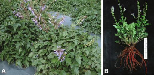 Photographs of Salviamiltiorrhiza Bunge (Lamiaceae). (A) Propagated plants ofSalvia miltiorrhiza; (B) The aerialand root parts of harvested Salviamiltiorrhiza.