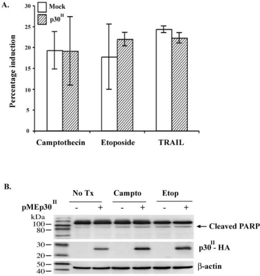HTLV-1 p30 does not modulate apoptosis in 293T cells or Jurkat T-cells. A) p30-expressing Jurkat T-cells or mock infected Jurkat T-cells were treated with camptothecin, etoposide, or TRAIL and assayed for apoptosis induction via Annexin V flow cytometry. Data represents the results of three independent experiments. Although camptothecin, etoposide, and TRAIL induced both cell lines into apoptosis, a differential degree of apoptosis induction was not seen between the two cell lines (nonparametric Wilcoxon rank sum test, p values: camptothecin 0.82, etoposide 0.51, TRAIL 0.13). Standard error bars are indicated. B) 293T cells were transiently transfected with either pME-p30HA or the empty pME-18S vector. Cells were untreated or treated with camptothecin or etoposide. Cell lysates were harvested and 50 μg of lysate was separated by SDS-PAGE. Apoptosis was assayed via immunoblot for the 89 kDa fragment of cleaved PARP. Expression of p30 was verified via immunoblot for HA. Expression of β-actin was verified as a loading control. - cells transfected with empty vector control; + cells transfected with pME-p30HA.