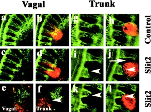 Effects of Slit2-expressing cells on neural crest migration in vivo. Cells expressing Slit2 or control HEK cells were labeled with the lipophilic dye DiI and implanted onto vagal and/or trunk neural crest migratory pathways. Left panel shows flattened confocal Z-series of whole mounts of embryos stained with the HNK-1 antibody (green) to recognize neural crest cells, and the right panel shows both the neural crest and the injected cells (red) at both vagal and trunk levels. Embryos were analyzed one day after injection. (a–d) At vagal levels, neural crest cells intermixed with both control and Slit2-expressing cells. (g–l) In contrast, at trunk levels, neural crest cells overlapped with control cells (g and h) but appeared to stop (white arrowhead) some distance away from Slit2 cells (i–l). Notice also how trunk neural crest cells circumvent Slit2-expressing cells (white arrow in j). (e and f) Sections through embryos injected with Slit2 show that vagal neural crest freely intermix with Slit2 cells, whereas trunk neural crest cells avoid (white arrowhead) Slit2 cells.