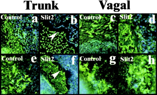 Trunk, not vagal, neural crest cells are repelled by Slit2- expressing cells in vitro. (a–d) Trunk and vagal neural crest cells (green) were grown apposed to live control HEK cells (a and c) or Slit2-expressing cells (b and d) (blue DAPI label). Only when trunk neural crest cells (b) were grown with Slit2-expressing cells was there a sharp border (white arrowhead) formed between the two populations. (e–h) A similar experiment performed with dead control or Slit2-expressing cells again shows a border between trunk neural crest cells and the Slit cell ghosts (white arrowhead in f), demonstrating that the repellent activity is membrane bound.