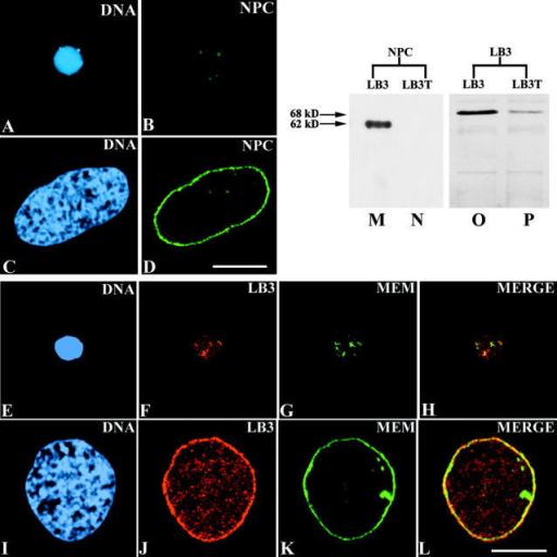 Sperm chromatin was incubated in extracts containing LB3T (A, B, and E–H) and as a control, purified LB3 (C, D, and I–L). These preparations were stained with the DNA dye TOTO (A, C, E, and I), the mAb 414 directed against nucleoporins (B and D; NPC), an mAb directed against LB3 (F and J), and the lipophillic dye, DiOC6 (G and K; MEM). Chromatin in extracts containing LB3T remained highly condensed (A and E), in some cases assuming an elongated appearance, and remained surrounded by patches of fluorescence for all three envelope markers (B, F, and G). In controls, the chromatin was decondensed (C and I) and surrounded by rims of nuclear pore complex, lamin, and membrane fluorescence (D and J–L). All images are from confocal sections taken through the midregions of nuclei. Immunoblot analyses of chromatin confirmed the fluorescence studies. As compared with the control samples, the addition of LB3T resulted in a significant reduction in the amount of p62, the major nucleoporin recognized by mAb 414 (compare lanes M and N). In a 10-fold longer exposure to this antibody, traces of p62 could be detected in the LB3T-treated preparations (unpublished data). In controls, other 414-reactive bands were detected following longer exposures, and were barely detectable in the presence of LB3T (unpublished data). In the presence of LB3T there was also a large reduction in the amount of LB3 (lane P) associated with chromatin, as compared with controls (lane O). Bars (A–L), 10 μm.