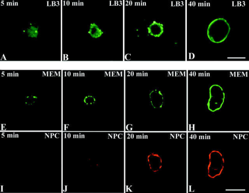 Chromatin was added to interphase extracts and samples were fixed 5 (A, E, and I), 10 (B, F, and J), 20 (C, G, and K), and 40 min (D, H, and L) after initiating assembly. Nuclei were then stained with either the LB3 mAb (A–D) or the membrane dye DiOC6 (E–H) and the 414 nucleoporin antibody (I–L). At 5 min, lamin appeared to coat the chromatin with a few foci of brighter fluorescence observed at the edges (A). At this same time point, patches of membrane fluorescence were associated with the surface of the chromatin (E), although very little nucleoporin staining was seen at this stage (I). After 10 min, patches of fluorescence for all three markers were detected around chromatin (B, F, and J). At this time, membrane and nuclear pore fluorescence were mainly coaligned (F and J). Normal rim staining patterns were observed at 40 min for each envelope marker (D, H, and L). Bars, 10 μm.