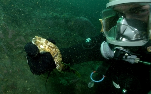 SCUBA diver holding a non-responsive hibernating N. coriiceps.The fish was collected from under the Antarctic sea-ice in August from 18 m depth, temperature −1.8°C.