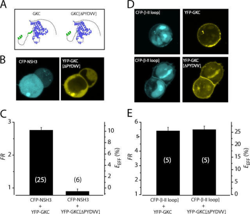 Deletion of a SH3 β5 strand selectively ablates the CaVβ SH3–GK interaction. (A) Cartoon comparing structures of GKC and GKC[ΔPYDVV]. (B) Confocal slices showing subcellular localization of CFP-NSH3 and YFP-GKC[ΔPYDVV]. (C) Population FR and EEFF measurements for CaVβ SH3/GK domain interactions. (D) Confocal slices showing subcellular localization of CFP-α1C[I-II loop] and distinct YFP-tagged CaVβ GK domains. (E) Population FR and EEFF measurements for α1C[I-II loop]/GK domain interactions.