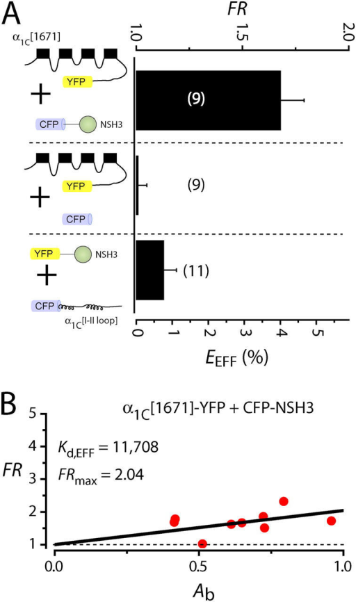 NSH3 can interact independently with α1C. (A) Population FR and EEFF measurements for α1C-YFP+CFP-NSH3, α1C-YFP+CFP, and YFP-NSH3+CFP-α1C[I-II loop]. (B) Binding analyses on FR scatter plot for α1C-YFP+CFP-NSH3.