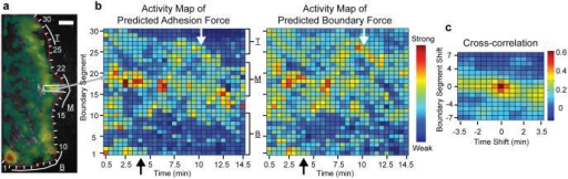 Predicted adhesion force transients near the leading edge are synchronized in time and co-localized in space with predicted boundary force transients. (a) Definition of edge-tracking probing windows (see Video 3). Per window and time-point averaged boundary and adhesion force transients are calculated. (b) Construction of activity maps of predicted adhesion (left) and boundary forces (right). For one time-point, predicted force magnitudes are collected in all probing windows along the cell edge and copied into one column of the activity map (see example of probing window #19 mapped into the first column). The procedure is repeated for the entire time-lapse sequence to reveal the spatiotemporal organization of force development. Arrows: concurrent dropping of adhesion and boundary forces at the time-points adhesion begin to slide (cf. Fig. 3b). (c) Cross-correlation of adhesion and boundary force activity maps. Scale bar in a: 10 μm.