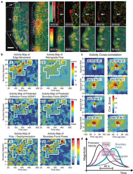 Coordination of predicted force transients during cell protrusion with F-actin assembly and edge movement. (a)Left panel: Boundary forces (cyan vectors) and adhesion force magnitudes (color-coded) at the leading edge of a protruding epithelial cell. 24 probing windows (overlaid boxes) were used to construct the activity maps shown in b. Zoom in: Predicted boundary (cyan) and adhesion (red) force vectors, and F-actin flow vectors (yellow) overlaid to the adhesion force magnitude (color-coded) in protruding sector of the cell edge. Right panel: Time montage of rates of F-actin polymerization (red) and depolymerization (green, top row); and of adhesion force magnitude (color-coded) and boundary forces (cyan vectors, bottom row) during a protrusion event. The two time series are shifted by 20 sec to account the delay in predicted adhesion/boundary force transients relative to rate changes in F-actin turnover (see text; see Video 4 for time-resolved force and assembly maps). (b) Activity maps of (I) cell edge movement, (II) velocity of F-actin retrograde flow, (III) predicted adhesion force, (IV) predicted boundary force, (V) rate of F-actin polymerization and depolymerization, and (VI) power (boundary force times the sum of the speeds of cell edge protrusion and retrograde flow). (c) Cross-correlation between activities. Negative time lags indicate that the first activity is delayed relative to the second activity. (d) Event sequence during a protrusion cycle. Scale bar in a: 5 μm.