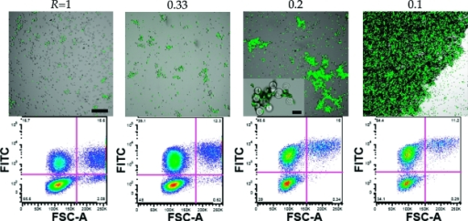 Confocal microscopy images and flow cytometry plots (FITC vs FSC) of aggregates formed under different cell to backpack ratios (R = 1−0.1). The diameter of each backpack is 7 μm. A higher magnification view of a cell−backpack aggregate is provided for R = 0.2. Scale bar is 100 μm (inset scale bar for R = 0.2 is 20 μm).