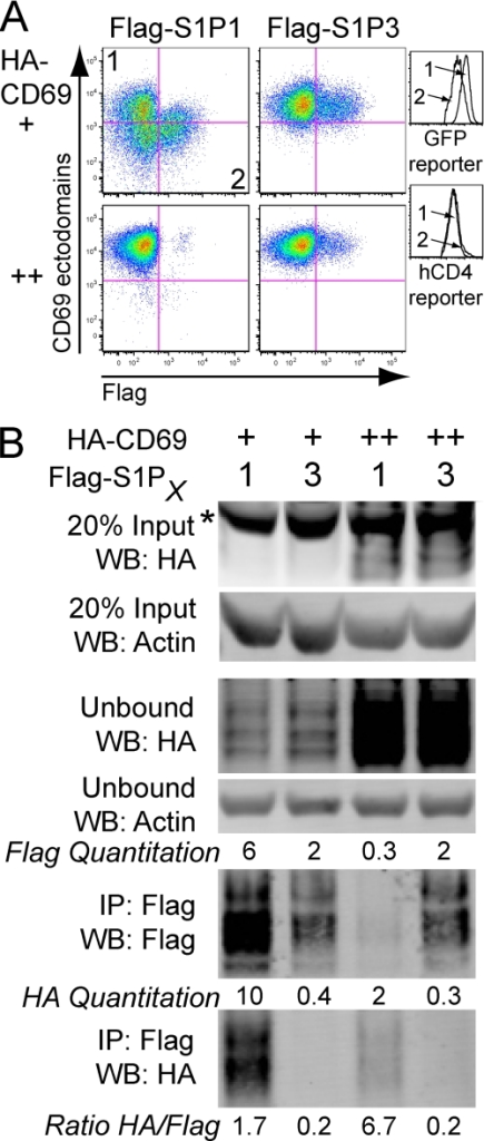 "CD69-mediated down-modulation of S1P1 is associated with protein degradation. A, flow cytometric analysis of Flag-S1P1 or Flag-S1P3 when co-transduced and sorted for low or high levels of CD69 in WEHI-231 cells. The relative amount of CD69 expression (+ or ++) was determined by expression of an IRES GFP reporter. Histogram overlays on the right show GFP reporter and hCD4 reporter expression for cells in quadrant 1 and 2 of the top left plot, indicating the relative expression of the CD69-IRES-GFP construct and the Flag-S1P1-IRES-hCD4 construct, respectively. B, co-IP of S1P1 or S1P3 with CD69 from the cells shown in the flow cytometric analysis. Densitometry readings are indicated showing the intensity of Flag and HA signal and the calculation of the ratio of HA signal to Flag signal is shown beneath the lower panel. These data are representative of two experiments using standard lysis buffer (see ""Experimental Procedures"") and one experiment using 1% Triton X in place of Brij97 and Nonidet P-40 with similar results. Nonspecific bands are indicated with an asterisk."
