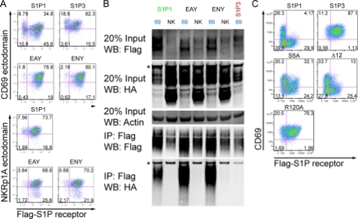 Interaction between CD69 and S1P1-containing mutations in the G-protein-interacting ERY motif or the cytoplasmic tail. A, flow cytometric analysis of S1P1 ERY motif mutants, EAY and ENY, or S1P3 as a control, co-transduced with CD69 and hNKRp1A in WEHI-231 cells. Cells are costained for the CD69 ectodomain and the Flag-S1P receptors and mutants as indicated. B, co-IP experiment for the S1P1 mutants or S1P3 as indicated. These data are representative of two experiments with similar results. C, flow cytometric analysis of desensitization mutants (S5A, Δ12) and S1P non-binding mutant (R120A), co-transduced with CD69 and hNKRp1A in WEHI-231 cells. Cells are co-stained for the CD69 ectodomain and the Flag-S1P receptors and mutants as indicated. Nonspecific bands are indicated with an asterisk.