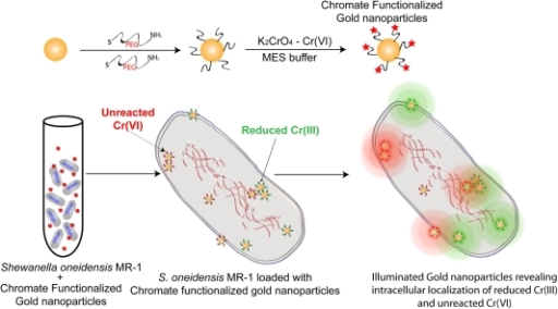 Schematic Illustration.Representation of passive uptake of Cr-AuNPs by S. oneidensis MR-1 and subsequent Raman Chemical imaging of cells to reveal the intracellular localization of reduced Cr(III) and unreacted Cr(VI).