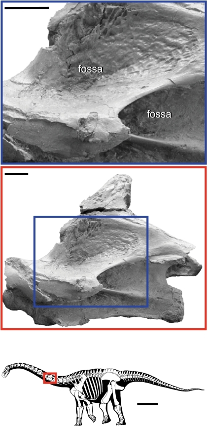 Vertebral fossae in the sauropod dinosaur Rapetosaurus krausei.Vertebral fossae in sauropods are hypothesized to be produced by pneumaticity, which is usually limited to the axial column, excluding the atlas, chevrons, and distal caudal vertebrae (bottom image). The middle photograph shows fossae in a cervical vertebra, which in the neural arch are bounded by vertebral laminae. The close-up photograph (top) shows the that bone texture within the fossa is often smooth, crenulated, and shiny, which is indicative of pneumatic bone. Silhouette reconstruction from [49]; cervical vertebra from [59]:fig. 10). Scale bar equals 1 m in silhouette; scale bars equal 3 cm in photographs. ©Copyright 2009 The Society of Vertebrate Paleontology. Reprinted and distributed with permission of the Society of Vertebrate Paleontology.
