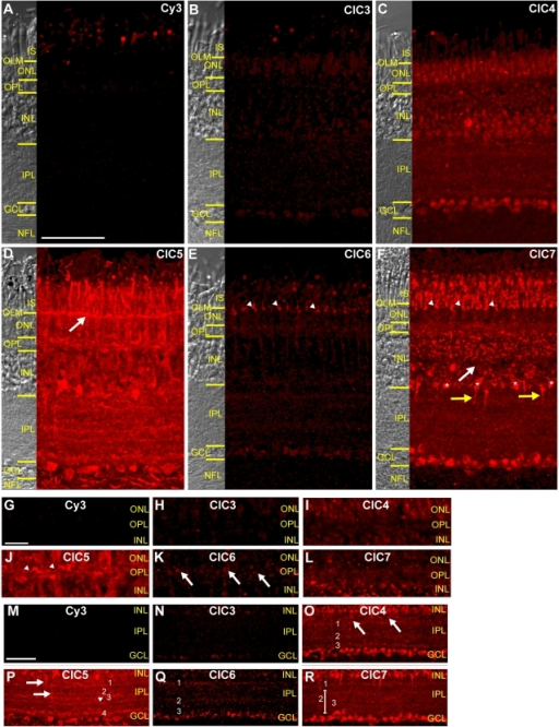 CLC H+/Cl− antiporters have diverse expression patterns in mature chicken retina.A–F, Images of vertical sections of chicken retina. Images were acquired and processed identically except for F, which was acquired at a lower PMT gain to avoid saturation. A, Secondary antibody only-labeled section shows minimal background fluorescence. Signal in photoreceptor outer segments and in oil droplets is autofluorescence. B, Labeling of retinal tissue by ClC3 antibody is barely detectable. C, The ClC4 antibody labels all three nuclear layers of the retina and the IPL. D, ClC5 antibody labeling in nuclear and synaptic layers. Arrow indicates ClC5 expression in the OLM. E, The ClC6 antibody labeled vertical elements in photoreceptors (arrowheads). F, Punctate ClC7 signal in nuclear and synaptic layers. Asterisks and yellow arrows indicate ClC7+ cells at INL/IPL border. White arrow indicates INL band lacking ClC7. G–L, Zoom of CLC antibody labeling in the OPL from the same sections shown in A–F. Images have been individually adjusted to highlight immunoreactive features. ClC5 expression is widespread and diffuse and in scattered processes (arrowheads) whereas ClC6 antibodies label discrete puncta. ClC4 and ClC7 antibody signals are fainter, and ClC3 signal is absent from the OPL. M–R, Zoomed images of anti-CLC labeling in the IPL. Images have been individually adjusted. IPL labeling by ClC3 antibody was minimal. ClC4 antibody labels horizontal processes in outer IPL (arrows) and three distinct bands (1–3). ClC5 is expressed in vertical processes projecting to central IPL (arrows) and four (1–4) to five (arrowhead) bands. Three bands of ClC6 immunoreactivity (1–3) are distinguishable. ClC7 antibody labels one band in outer IPL (1) and one band in inner IPL (2). 3 indicates a thin IPL band lacking ClC7. (Scale bar in A is 50 µm and applies to B–F. Scale bar in G is 5 µm and applies to H–L. Scale bar in M is 50 µm and applies to N–R.)