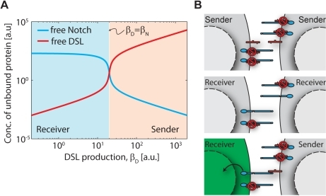 Ultrasensitivity due to mutual inactivation of Notch and DSL.(A) Plot of free DSL (red) and free Notch (blue) as a function of DSL production rate, . A sharp switch (high logarithmic derivative) between sender and receiver states occurs when . (B) Schematic illustration of sending and receiving states, showing that while very little signaling occurs when two neighboring cells are both senders (top) or both receivers (middle), strongly biased signaling can occur for the case of neighboring sender and receiver cells (bottom).