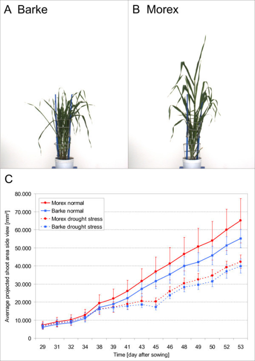 Comparison of different barley (Hordeum vulgare) cultivars. Habitus of cultivar Barke and of cultivar Morex in side view (A, B). Plot of the average projected shoot area in side view of 312 barley plants composed of the two cultivars with 78 Barke plants and 78 Morex plants under well watered conditions (solid line) and 78 Barke plants and 78 Morex plants under drought stressed conditions (dashed line). Both cultivars have lesser average projected shoot area under drought stress conditions but approximate to plants under well watered conditions in the last days of the experiment (C). The average projected shoot area of cultivar Morex is under both conditions larger. Vertical bars show ± S.E. of 78 replicates. Analysis was carried out with HTPheno.
