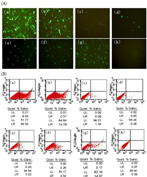 Transient expression of siRNAs conferred the sequence-specific inhibition of expression of GTPV ORF95 in BKH-21 cells. (A) Fluorescence detection of cotransfection of p095/EGFP with their corresponding siRNA expression plasmids 24 h posttransfection. (B) Flow cytometric analysis of cotransfection of p095/EGFP with their corresponding siRNA expression plasmids 48 h posttransfection. EGFP expression level in cells cotransfected with (a) pEGFP-N1 vector; (b) p095/EGFP; (c) p095/EGFP and p61; (d) p095/EGFP and p70; (e) p095/EGFP and p165; (f) p095/EGFP and p296; (g) p095/EGFP and pControl; (h) BHK-21 cell control. LR-Value means the rate of EGFP positive cells.