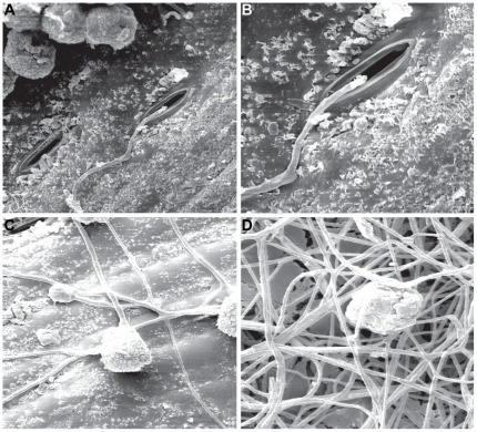 E. nigrum conidia germination on sugarcane leaf fragments analyzed by scanning electronic microscopy.Scanning electronic microscopy analysis of the conidia germination of the E. nigrum P16 endophytic strain on sugarcane leaf fragments. (a–b) After 12 hours of incubation in wet chamber it was possible to visualize the conidia germination and hyphae next to the stomata (1000X and 2000X, respectively). (c) After 40 hours of incubation it was possible to visualize hyphal ramification and random surface colonization (1000X). (d) After 64 hours, the leaf surface was completely covered with E. nigrum hyphae (1000X).