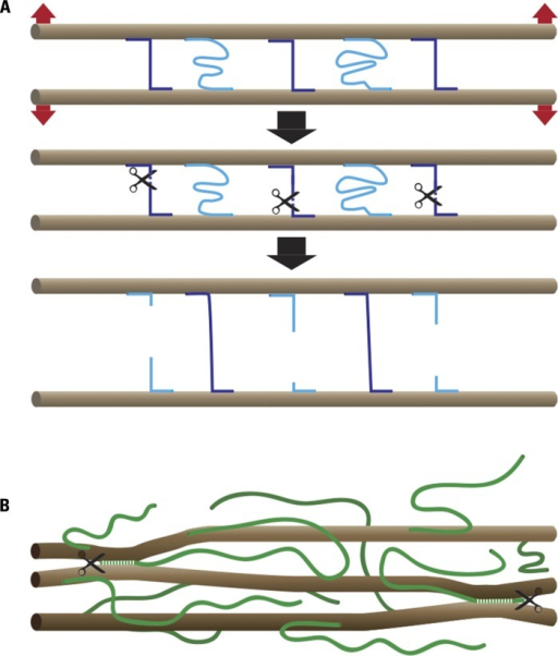Chemorheological control of wall extensibility.(A) Principle: microfibrils (brown), which in most cases form parallel arrays, are cross-linked by load-bearing (violet) and relaxed (light blue) bonds. The number and strength of the load-bearing bonds determines cell wall strength. Wall extensibility is controlled by chemorheological mechanisms that remove load-bearing bonds. The cell wall relaxes and undergoes turgor-driven mechanical deformation until previously relaxed bonds become load-bearing. (B) Cartoon of cell wall architecture showing microfibrils (brown) and XG chains (green). A small portion of the XG is intertwined or complexed with cellulose, thus sticking the microfibrils together at these points. The endoglucanase Cel12A as well as expansin may act on these relatively inaccessible XG–cellulose interaction domains.