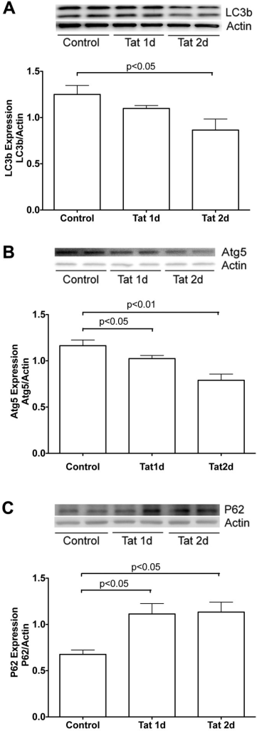HIV-1 Tat-inhibited autophagyAutophagy was estimated by measuring protein levels of LC3, Atg5 and p62. (A) HIV-1 Tat (100 nM) decreased significantly protein levels of LC3. (B) HIV-1 Tat (100 nM) reduced significantly protein levels of Atg5. (C) HIV-1 Tat (100 nM) increased significantly protein levels of p62. Representative Western blots and quantitative data from each of proteins are shown, and actin was used as a loading control (n = 4).