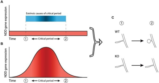 "Two ways in which dysfunction of NDD genes can dysregulate critical periods. A critical period is shown here as the timeframe between ""1"" and ""2"". (A) In this scenario, the critical period is caused by external factors (blue bar) not related to the NDD gene and expression of the NDD gene in wild-type is not necessarily atlered before, during or after the critical period (red area). However, the NDD gene plays a role downstream of these external factors and is necessary for phenotypic change to take place, thereby indirectly regulating not the occurrence but the outcome of the critical period. Hence, dysfunction of the gene leads to an impaired critical period. (B) Increased NDD gene expression (red area) directly regulates the critical period and causes it to occur, independent of external factors. Therefore, dysfunction of the NDD gene causes the critical period to be absent completely. (C) In both scenarios, the NDD gene is necessary for the phenotypic change that takes place during the critical period (""WT"" vs ""KO""), represented here by maturation of spine morphology."
