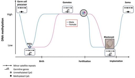 Dynamics of DNA methylation at germ line genes and sate