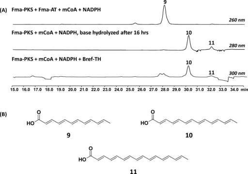 Fma-PKS produces longer polyenes in theabsence of cognate Fma-AT.(A) HPLC profiles of Fma-PKS with Fma-AT; base hydrolysis; or Bref-TH.Fma-PKS produces a hexaketide polyene in the presence of the partnerFma-AT. In its absence or in the presence of the non-cognate Bref-TH,the PKS catalyzes 1 or 2 more extension steps to yield the heptaketide 10 and octaketide 11. The reactions consist of20 μM Fma-PKS, 2 mM mCoA, and 2 mM NADPH with either 20 μMof the releasing enzyme or base hydrolysis (1 M NaOH at 65 °Cfor 10 min). (B) Proposed structures of the polyene compounds producedin the in vitro assay.