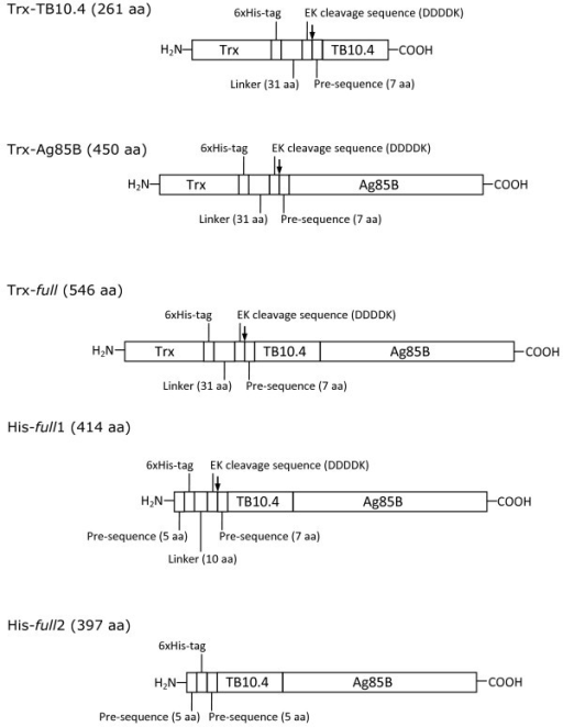 Scheme of the recombinant proteins as produced upon cloning in pET32b (Trx-TB10.4, Trx-Ag85B and Trx- full ) or pColdI (His- full 1 and His- full 2) vectors. Trx: thioredoxin (116 amino acids, aa). The arrow indicates the EK cleavage site. The entire amino acid sequences are reported in the Additional file 1: Figure S2.