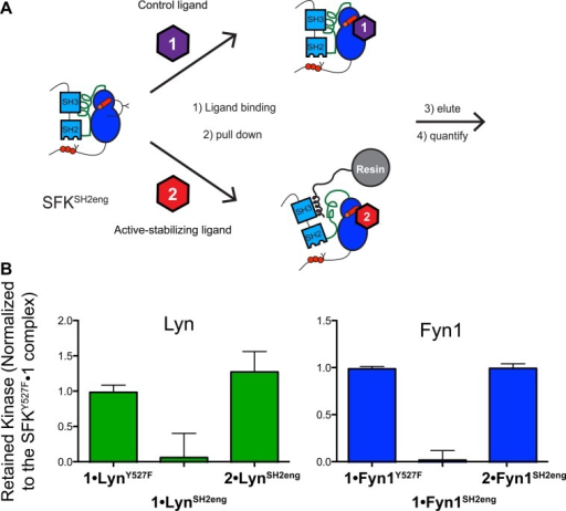 Stabilizing an activeATP-binding site conformation overcomes regulatoryinteractions in Lyn and Fyn1. (A) SH3 pull-downs were performed usingSFKSH2eng constructs. SFKSH2eng constructs wereincubated with control ligand 1 or active-preferringligand 2 and the amounts of kinase retained on the resincompared. (B) Quantification of the SFKSH2eng SH3 pull-downexperiment (mean ± SEM; n = 3). All data arenormalized to the SFKY527F·1 complex.