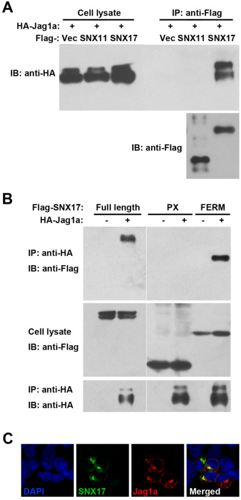 SNX17 co-immunoprecipitates with Jag1a. (A) The Flag-tagged SNX17 pulled down the HA-tagged Jag1a when co-expressed in 293 T cells. SNX11 is a PX-only SNX family member and was used as the negative control. (B) HA-Jag1a co-immunoprecipitated with full-length or the FERM-like domain of SNX17. The PX domain failed to be pulled-down in the same assay. (C) SNX17 co-localized with Jag1a in 293 T cells.