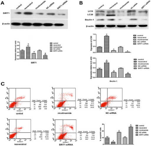 SIRT1 enhances autophagy and inhibits apoptosis in degenerative human NP cells.(A) SIRT1 protein levels were detected by western blot. SIRT1 expression was significantly elevated in degenerative human NP cells which were treated with resveratrol (8 μM) for 48 h. Conversely, SIRT1 expression was reduced in NP cells treated with nicotinamide (12 μM) or SIRT1-siRNA for 48 h. Protein expression levels are normalized against β-actin (*P<0.05 versus control). (B) Autophagy related-protein expressions were assessed by Western blot. Autophagy related-protein expression was significantly elevated in degenerative human NP cells which were treated with resveratrol (8 μM) for 48 h. Conversely, autophagy related-protein expression was reduced in NP cells treated with nicotinamide (12 μM) or SIRT1-siRNA for 48 h. Protein expression levels are normalized against β-actin (*P<0.05 versus control). (C) The apoptosis incidence of degenerative human NP cells evaluated by flow cytometry. The apoptosis incidence decreased significantly in NP cells treated with resveratrol (8 μM) and increased significantly in NP cells treated with nicotinamide (12 μM) or SIRT1-siRNA for 48 h (*P<0.05 versus control).