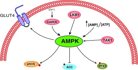 Proposed model illustrating protein factors upstream and downstream of AMPK (refer to text for additional detail). Upper arrows show kinase-mediated activation of AMPK via Ca2+/calmodulin-dependent protein kinase β (CaMKKβ), LKB1 and TGFβ-activated kinase (TAK1). Lower arrows indicate targets of AMPK, including endothelial nitric oxide synthase (eNOS), acetyl-CoA carboxylase (ACC), glucose transporter type 4 (GLUT4) and 6-phosphofructo-1-kinase (PFK1).