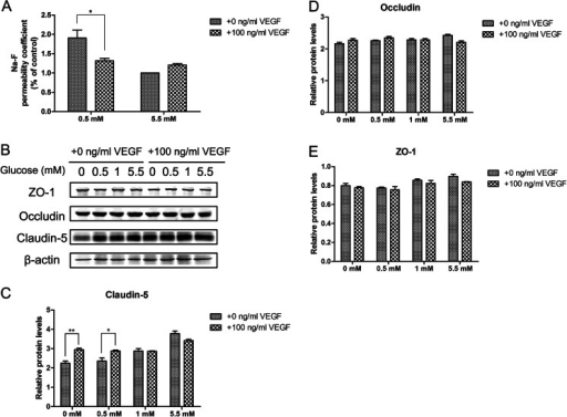 Effects of VEGF on hypoglycemia-induced paracellular permeability and TJ proteins. (a) Effect of VEGF (100 ng/ml) on cell permeability of cells exposed to 0.5 and 5.5 mM glucose for 24 h. (b) Effects of VEGF on TJ protein levels during hypoglycemia for 24 h in bEnd.3 cells. Representative TJ Western blots are shown following treatment with 0.5 or 5.5 mM glucose for 24 h with the presence of 100 ng/ml VEGF. Summary plots of claudin-5 (c), occludin (d), and ZO-1 (e) are shown following densitometric analysis of the corresponding protein blots. Data are expressed as the mean ± SEM. N = 3. *P < 0.05, **P < 0.01