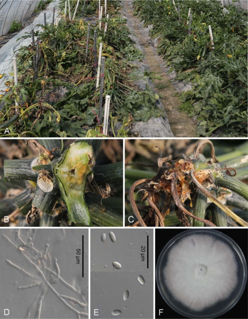 Fusarium wilt caused by Fusarium oxysporum on zucchini (cv. Taeyang). A, The leaves and stems were infected, devastating the whole plants. Note severe infection on the left bed; B, The vascular system was blocked by the fungus; C, Dark streaks on an infected plant; D, Monophialides with microconidia on hypha; E, Microconidia; F, One-week-old colony of F. oxysporum growing on potato dextrose agar.