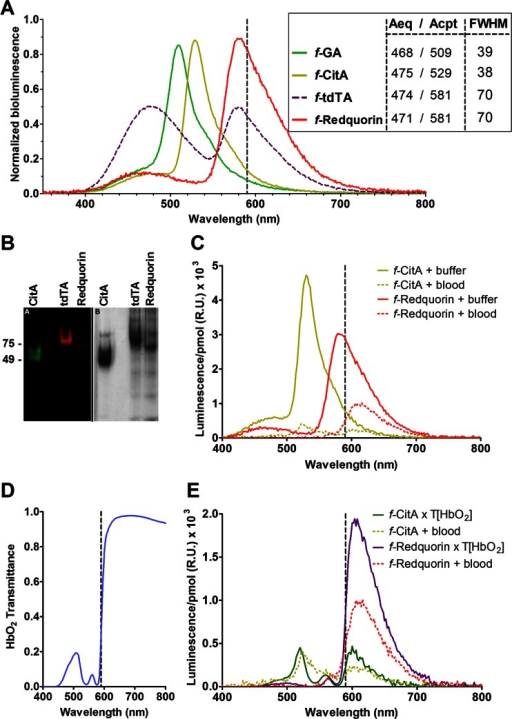 In vitro characterization of tdTA variants. a Ca2+-triggered bioluminescence spectra of fluorescent protein (FP)-Aeq chimeras. The hybrid proteins, obtained from HeLa cell lysates (GA) or produced in E. coli and affinity column-purified (CitA, tdTA, Redquorin) were reconstituted with CLZ-f. The sum of the height of the two peaks (Aeq and fluorescent protein) was normalized to one. The inset indicates the wavelength of Aeq (donor) and FP (acceptor) emission peaks and the full width at half-maximum (FWHM) of the FP peak, all expressed in nanometers. b The integrity of affinity-purified hybrid proteins CitA, tdTA, and Redquorin was tested on a native gel and visualized by fluorescence (left), followed by Coomassie staining (right). c Bioluminescence spectra per picomole of f-CitA and f-Redquorin suspended in buffer or blood (blood dilution after addition of Ca2+ was 4.5-fold). d Transmittance spectrum of a oxyhemoglobin solution. e Comparison of f-CitA and f-Redquorin spectra obtained experimentally in blood (dotted lines) with the calculated spectra considering the transmittance of oxyhemoglobin (full lines). The dashed vertical lines are shown to highlight the luminescence above 590 nm