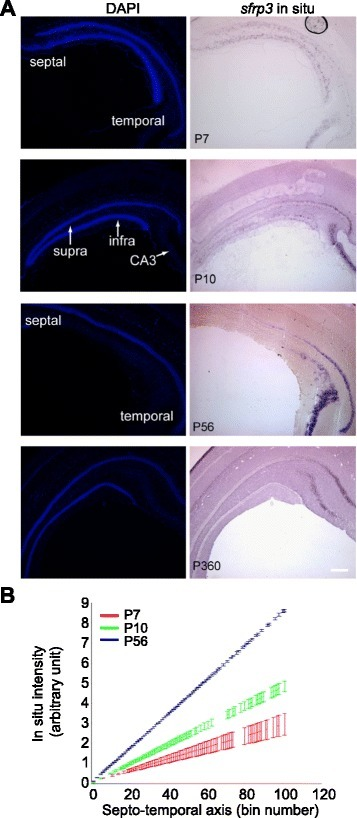 A gradient of sfrp3 expression in dentate gyrus from early postnatal to aged animals. a Representative images of sfrp3 mRNA in situ in the dentate gyrus of wildtype mice at different ages (P7, P10, P56 and P360). Scale bar, 250 μm. b Quantification of signal intensity for sfrp3 in situ, which was performed on the images shown in Fig. 3a. Reconstructed dentate gyri from sagittal sections were divided into 100 bins (represented on the X axis) for quantification of signal intensity along the septo-temporal axis. Values represent mean ± S.E.M. (n = 3). The sfrp3 mRNA expression increases from septal to temporal dentate gyrus at each age from P7 to P56 in WT mice with an increase in slope during the interval of P7-P56