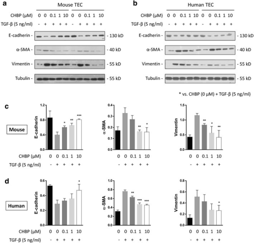 CHBP inhibited TGF-β-induced EMT in murine and human TECs. TGF-β (5 ng/ml) and CHBP (0, 0.1, 1 and 10 μM) were added to murine TCMK-1 and human HK-2 cells. After 72 h, E-cadherin, vimentin and α-SMA levels in a TCMK-1 cells and b HK-2 cells were determined by western blotting. c, d Quantitative results are presented as the mean ± SD of the optical density of each band (n = 6). *p < 0.05, **p < 0.01, ***p < 0.001, ****p < 0.0001 compared with the CHBP (0 μM) + TGF-β (5 ng/ml) group
