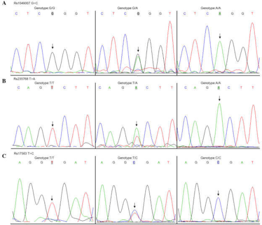 DNA sequence chromatograms of the rs1049007, rs235768 and rs17563 single nucleotide polymorphisms. (A) rs1049007; (B) rs235768; (C) rs17563. Arrows indicate the sites of variation.