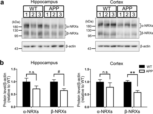 Synaptic expression of endogenous β-neurexins is decreased in J20 APP mice.(a) Representative immunoblots of neurexins (NRXs) in synaptosomes from the hippocampus and from the cerebral cortex of J20 APP mice and wild-type (WT) littermates at 6 months of age. The labels 1, 2, and 3 indicate samples from different mice. Full gel blots for the cropped blots (a) are shown in the Supplementary Fig. 4. (b) Quantification of synaptic expression of β-NRXs (bands indicated by a lower right square bracket in (a) and α-NRXs (bands indicated by upper right square bracket in (a) normalized to β-actin protein expression in synaptosomes from the hippocampus and the cortex, expressed relative to WT. n = 5 samples per genotype for hippocampus, with each n representing pooled hippocampi from two mice. n = 6 samples per genotype for cortex, with each n representing a cortex from one mouse. Unpaired t tests, #P < 0.05 for β-NRXs and P = 0.15 for α-NRXs in hippocampus, and **P < 0.001 for β-NRXs and P = 0.31 for α-NRXs in cortex. n.s., not significant. Data are presented as mean ± SEM.