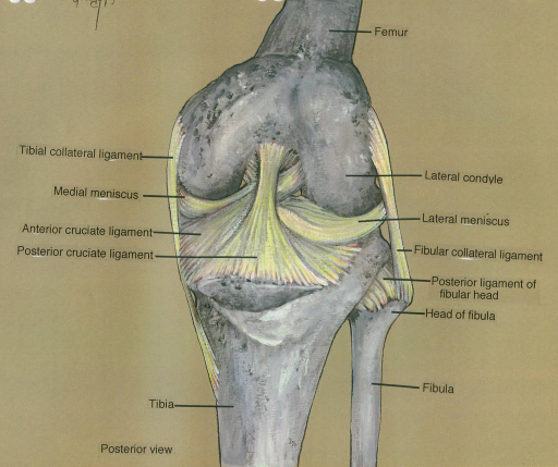 tibial collateral ligament; medial meniscus; anterior cruciate ligament; posterior cruciate ligament; tibia; femur; lateral condyle; lateral meniscus; fibular collateral ligament; posterior ligament of proximal epiphysis of fibula; fibula