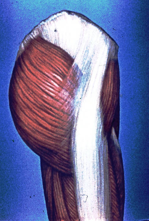 gluteal muscles; hip muscles; thigh muscles