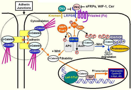 Canonical Wnt/β-catenin pathway. β-catenin is a component of cell-cell adhesion structures (adherens junctions) [20-22] and a key signaling factor in the Wnt pathway [10]. As shown here canonical Wnt signalling (Wnt/β-catenin) is defined by its inhibition of glycogen synthase kinase-3β (GSK-3β) catalyzed phosphorylation of β-catenin. Several factors, including Cer (cerebrus), WIF-1 (wnt-interacting protein), and sFRPs (secreted frizzled related proteins) and dickkopf-1 (Dkk) are known to antagonize Wnt signalling [63-69]. However, upon Wnt stimulation several Fz-LRP downstream signalling components, including the phosphoprotein dishevelled (Dvl) [70-72], GBP/Frat1 (GSK-3β Binding Protein) [73] and casein kinase I (CKIε) [74,75], somehow co-operate to inhibit GSK-3β. This ultimately this leads to an increase in the cytosolic 'free' levels of β-catenin (uncomplexed to cadherin), and its accumulation within the nucleus where it binds to members of the Tcf/Lef (T-cell factor-lymphoid enhancer factor) transcription factor family to activate gene transcription in a cell-context dependent manner [28-34]. In the absence of Wnt signalling, Axin/conductin [76,77] in co-operation with the product of the tumour suppressor gene adenomatous polyposis coli (APC) [78,79] facilitate GSK-3β mediated phosphorylation of β-catenin on N-terminal serine and threonine residues [80]. This hyper-phosphorylated form of β-catenin then binds to the F-box protein β TrCP, which targets β-catenin for degradation via the ubiquitin-proteosome pathway [81-84].