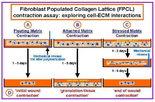 Fibroblast Populated Collagen Lattice contraction assays. Fibroblast populated collagen lattice (FPCL) cultures have been used by many researchers to model cell-ECM interactions associated with wound contraction and DD [58]. As illustrated here three types of FPCLs have been used by investigators, including (A) Floating- (B) Attached- and (C) Stressed-matrices. Floating-matrices are mechanically released from the sides of the dishes immediately after gel polymerization (1 hour). In contrast, isometric tension is allowed to build up in cells placed in attached- and stressed-matrix cultures. In attached-matrices the contractile forces exerted by cells encounter mechanical resistance, which is thought to mimic 'granulation tissue contraction' (D, in vivo-like phenotypes), while cells seeded in stressed-matrices develop isometric tension during an initial attached period (1 to 2 days) that dissipates when the lattices are mechanically released.
