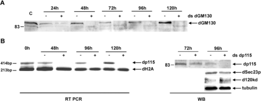 Depletion of dGM130 protein and dp115 mRNA. (A) Western blotting using MLO7 (anti-GM130 antibody) of the extract of S2 cells incubated with (+) or without (−) ds dGM130 for increasing lengths of time. C corresponds to time 0 (3,000,000 cells). 1,500,000 cells were used for lanes 24–72 h, and 2,500,000 for lanes 96–120 h. From the two bands the antibody recognizes, the stronger upper band is specifically depleted (arrow). (B) The dp115 mRNA was measured by RT-PCR from total RNA extract from 1,000,000 cells incubated with (+) or without (−) ds dp115 for 48–120 h. Amplification of histone 2A mRNA was used as control of the specific depletion of dp115 mRNA and as a loading control. Western blotting of the extract of cells (1,500,000) incubated with (+) or without (−) ds dp115 for 72 and 96 h using the dp115/584 antibody (dp115), the Sec23p antibody (dSec23p), the antibody recognizing the 120-kD Drosophila antigen (d120kd), and α-tubulin. Note that only dp115 is depleted.